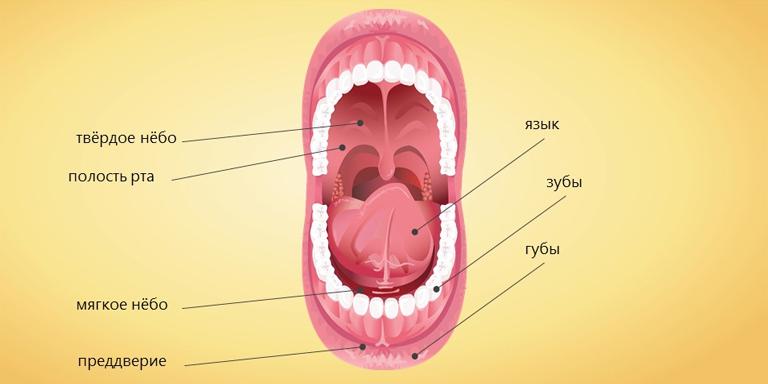 Как устроен рот?