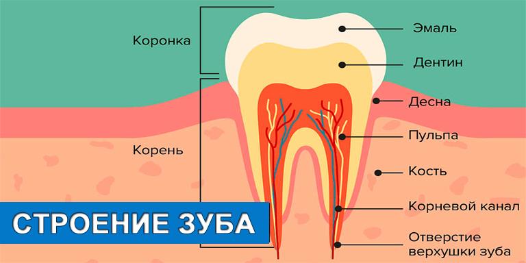 Как устроены человеческие зубы?